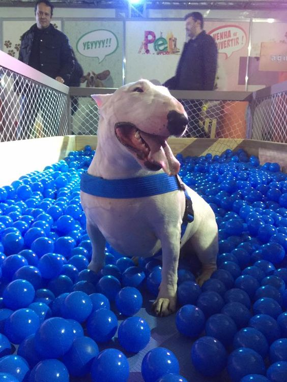Bull terrier in a ball pit