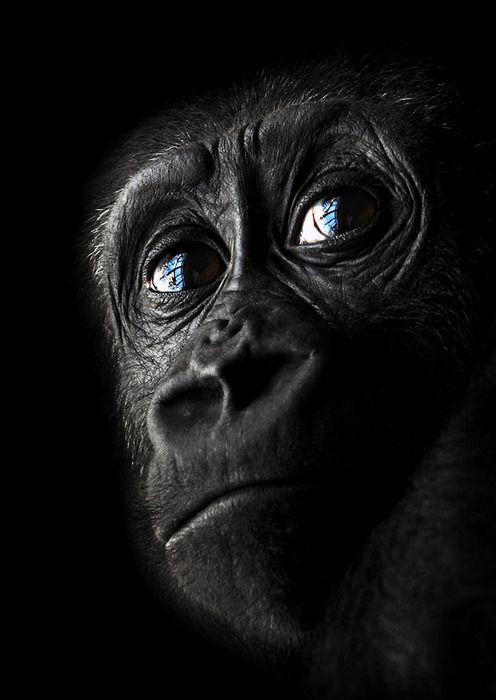 """I looked into an apes eyes when I was very little and burst out crying """"Daddy, he is so sad; he does not belong in a cage!  Get him out!!!"""". Dad had to lead me out.  I could not be consoled.   Many people have liked or repinned this.  It would be great if primates were not in cages or for that matter in homes rather in their natural habitats."""