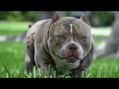 Best Pocket American Bully Studs 2019 With Images American