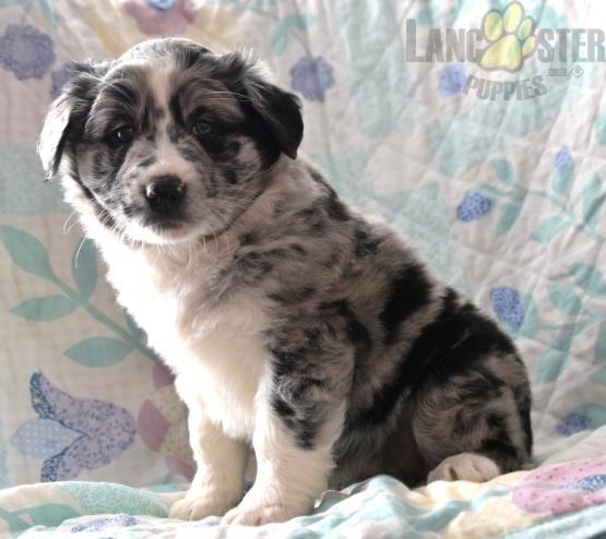 Patsy Australian Shepherd Mix Puppy For Sale In Springfield