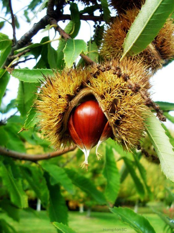 Castañas Chestnuts