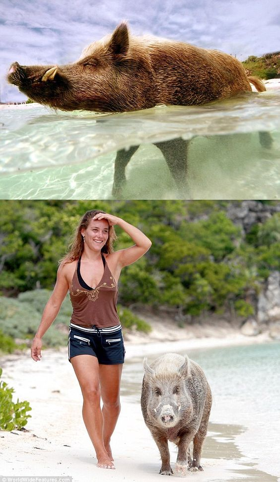 Babe the pig is the ultimate beach bum, spending his days sunbathing and taking cooling dips in the Caribbean Sea ( http://www.dailymail.co.uk/news/article-2047118/Babe-pig-lives-private-island-Bahamas.html )