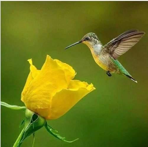 Hummingbird And Rose Hummingbird Pictures Hummingbird Yellow Rose Tattoos