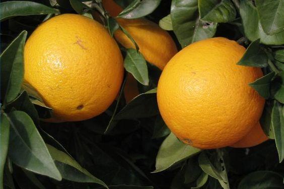 Orange (self pollinating)