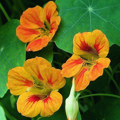 """Nasturium """"Indian Cress"""". http://www.selectseeds.com:"""