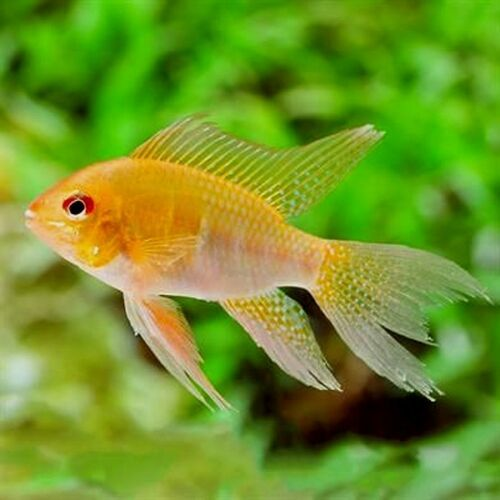 Pair Of Mikrogeophagus Ramirezi Gold Long Fin Dwarf Cichlid Freshwater Aquarium Fish Tropical Fish Tropical Fish Aquarium
