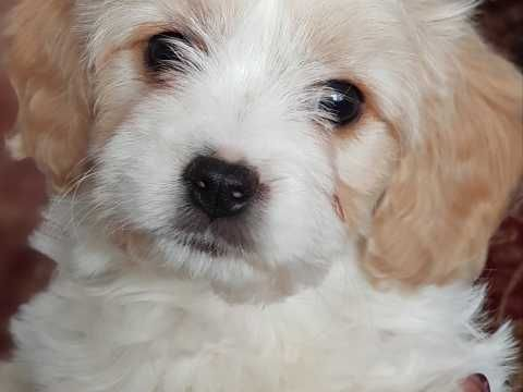 Stunning F1 Cavachon Puppy For Sale Cavachon Puppies Cavachon