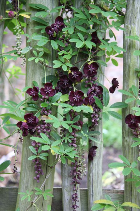 """Akebia longeracemosa """"A collection from N. Taiwan. This makes a vigorous twining climber with semi-evergreen leaves composed of 5 slim leaflets. The scented blackish-maroon flowers are borne in pendulous racemes to 15cm long in spring. Purplish sausage shaped fruits can follow in autumn. Sun or semi-shade."""""""