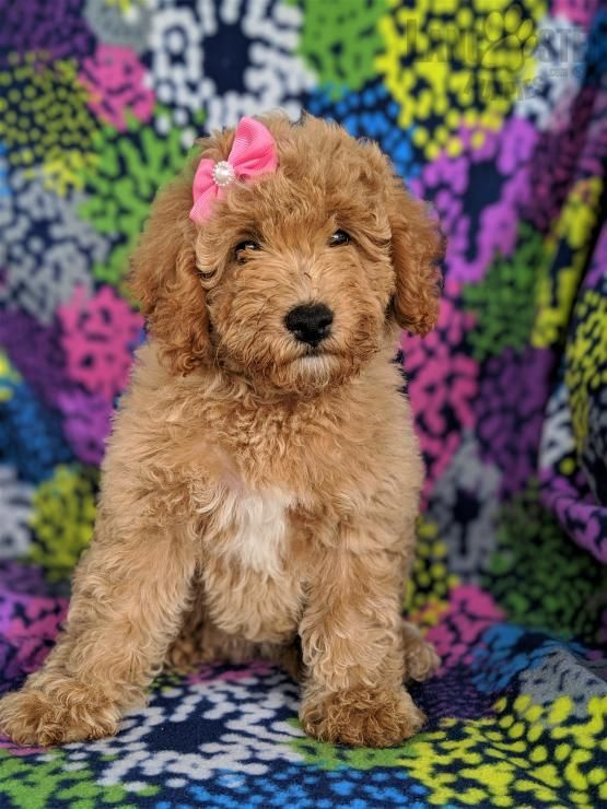 Labradoodle Puppies For Sale In Pa : labradoodle, puppies, Falon, Labradoodle, Puppy, Gordonville,, Lancaster, Puppies, #Falon, Puppy,
