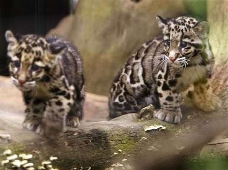 images of baby leopards | leopard , leopards , animal , animals