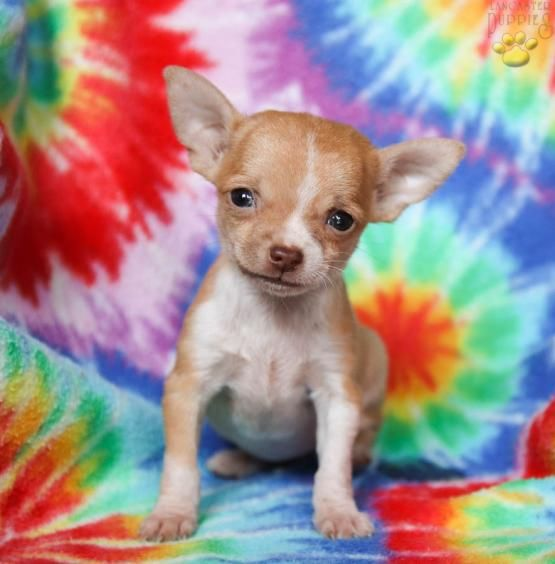 Liberty Chihuahua Puppy For Sale In Spring Mills Pa Lancaster Puppies With Images Chihuahua Puppies For Sale Puppies For Sale Lancaster Puppies