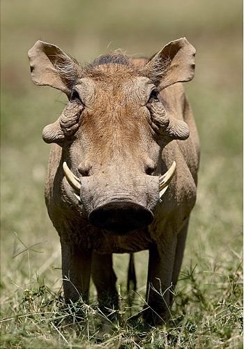 Warthog Warthogs get their name from four large wart-like protrusions found on their heads. Despite their appearance, Warthogs are excellent jumpers and fast runners.
