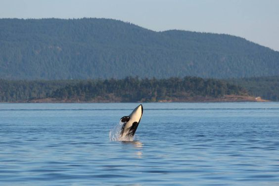 Look, who is here! Ocean EcoVentures Whale Watching - Cowichan Bay