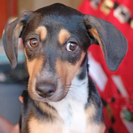 Dogs And Puppies For Adoption In San Diego Puppy Adoption Dog Adoption Dogs