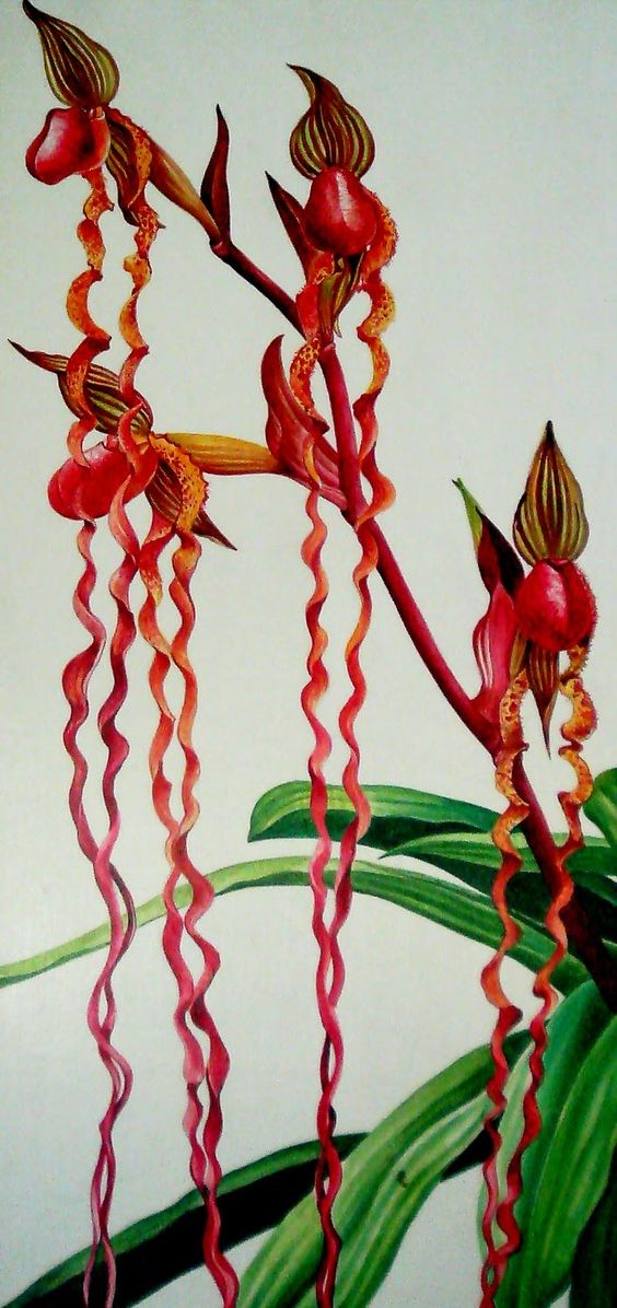 Rarest Orchid in the World | painting of the rarest of rare orchids from Sarawak - Paphiopedilum ...