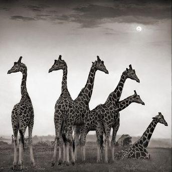 otras jirafas