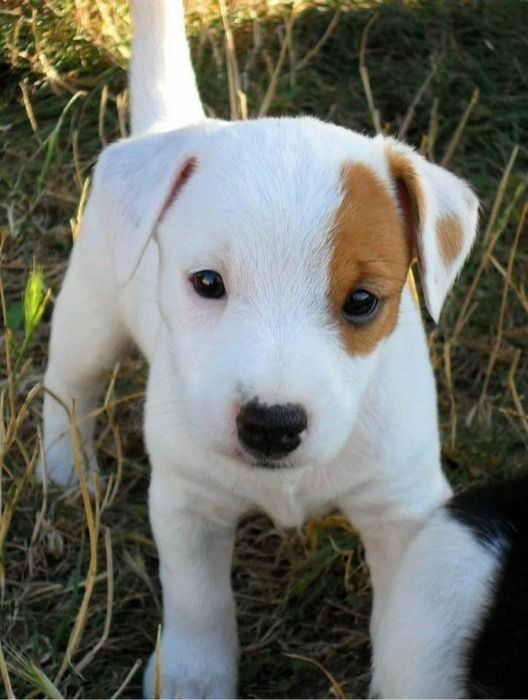 JACK RUSSELL TERRIER PUPPY- ❤️ Photo Dog () - of plume - Pet photos, dogs, cats, rodents, horses - Yummypets: