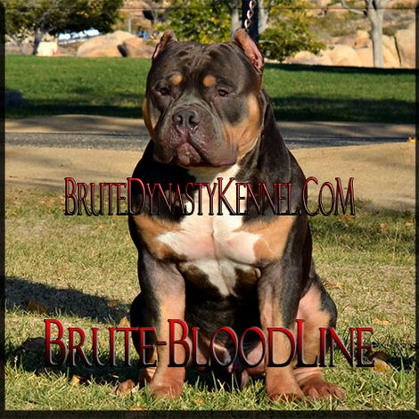 Xl Tri Color Bully Pitbull Breeder And Kennel With Brute
