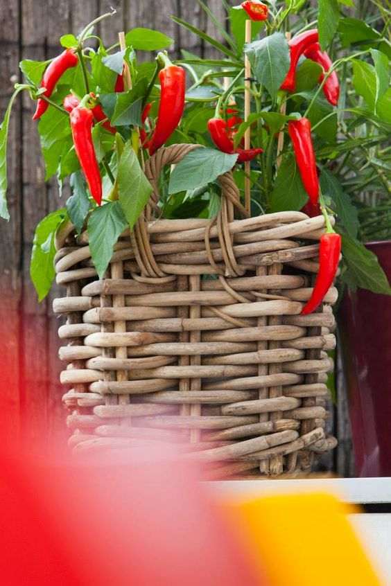 Tuintrends 2014 - LA DOLCE VITA - Italiaanse tuin - Rood, Groen, Wit & Bruin, Toscaanse sfeer. Italian/Italia Garden Outdoor #peppers #chili ♥ Fonteyn