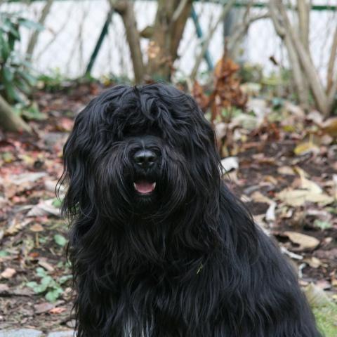 Tibet Terrier Jungrude Black And Tan Im Garten Schwarze Hunde
