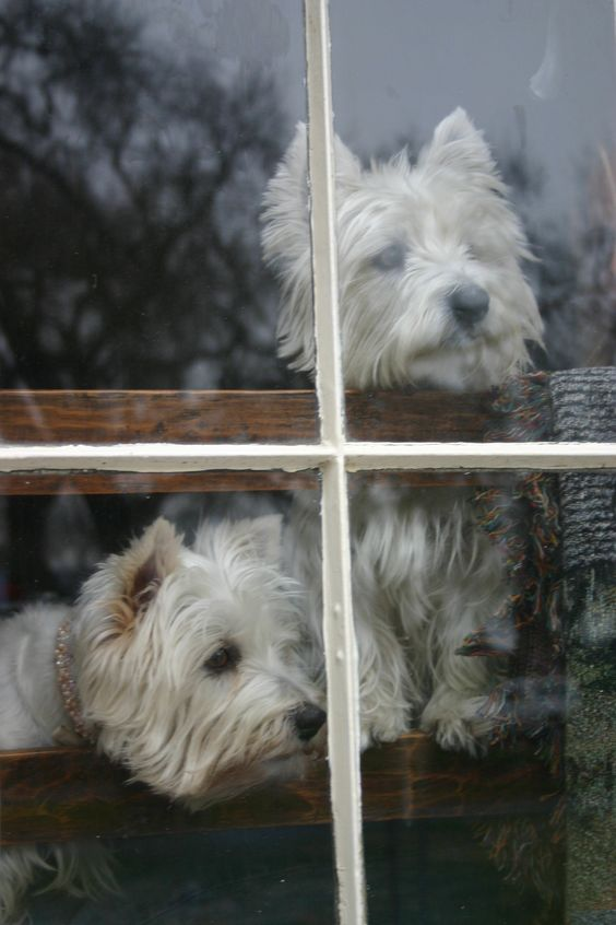 Westies stare intently out their window.: