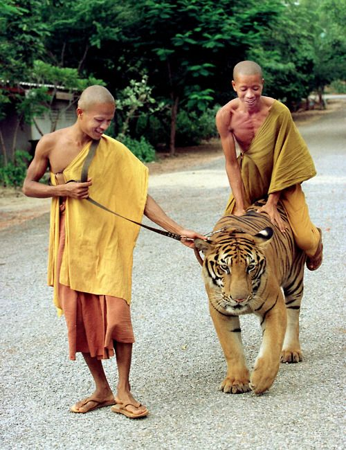 Thailand Tiger Temple: Monks Live With Tigers: