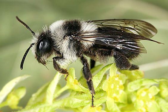 Grey Mining bee, one of Britain's species of bee
