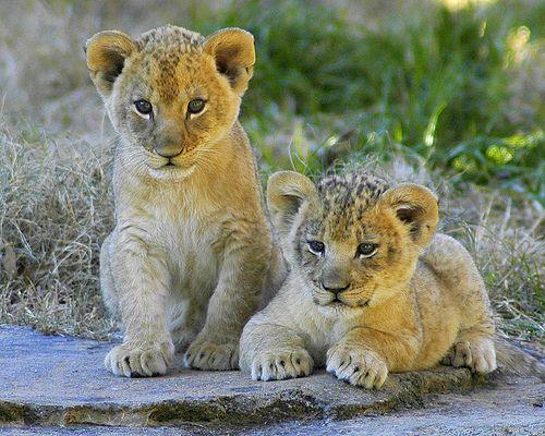 Lion cubs by ucumari, via Flickr