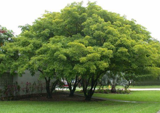 Pongamia pinnata aka indian beech tree honge tree for Small sized evergreen trees