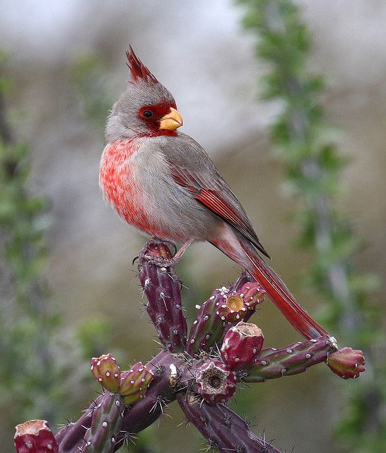 beautiful-Pyrrhuloxia (male)