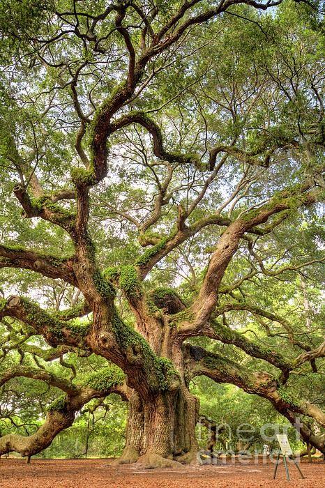 ~The Angel Oak Tree on Johns Island near Charleston, South Carolina~    photo: Dustin K Ryan on FineArtAmerica
