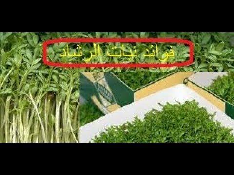 هل تعرف فوائد الرشاد الأخضر فوائد رائعة وطبيعية استخدامات حبوب الرشاد Herbs Blog Posts Blog