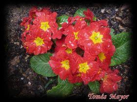 """Primula acaulis"". Fotos T.Mayor / 2013"