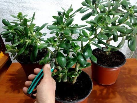 How To Pruning A Jade Plant Youtube Jade Plants Jade Plant Care Cloning Plants