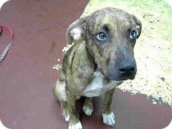 ACT QUICKLY OUT OF TIME  Atlanta, GA - Labrador Retriever Mix. Meet AMOS, a dog for adoption. http://www.adoptapet.com/pet/16571564-atlanta-georgia-labrador-retriever-mix