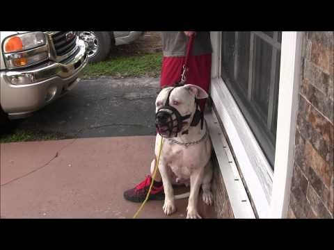 Part 3 Aggressive American Bulldog Has Lost His Mind Red Zone Dog Bites The Miami Dog Whisperer Youtube American Bulldog Dog Biting Cheap Dog Toys