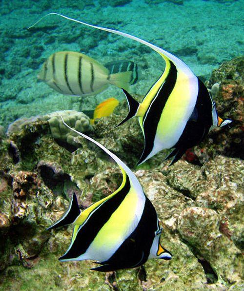 Pretty Black Yellow Angel Fish Underwater Exploring