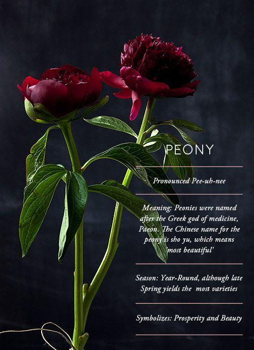 Flower Glossary: Peony