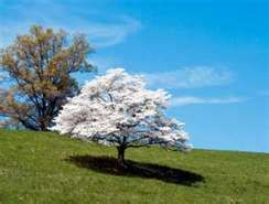 I love the look of Dogwood trees in Spring.