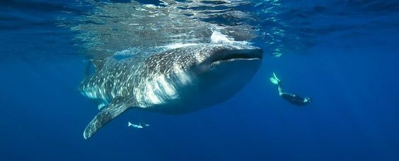Belize Whale Shark Diving