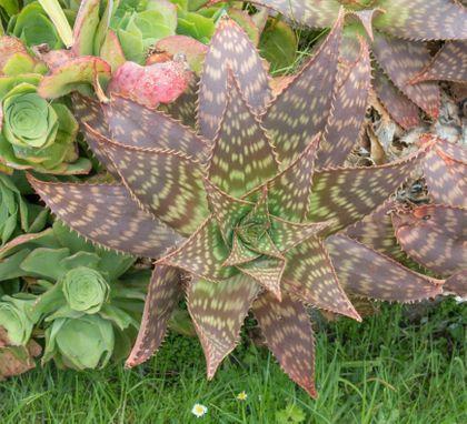 26 Different Types Of Aloe Vera In 2020 Aloe Aloe Vera Aloe Plant