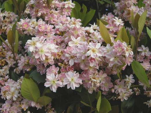 A small and slow growing evergreen shrub indian hawthorn for Low maintenance flowering bushes