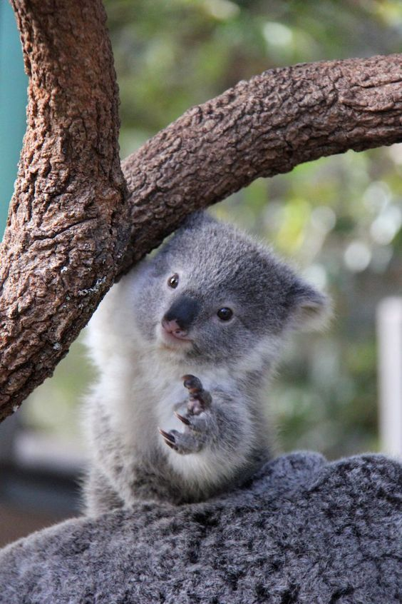 I See Your Baby Hyena And Raise You A Baby Koalahttps I Redd It Y23iuiqctkr01 Jpg Animals Cute Baby Animals Cute Animals