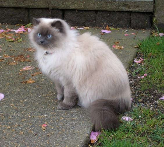 El gato himalayo es un gato persa coloreado como un siamés, pero tiene los rasgos característicos de la raza persa.