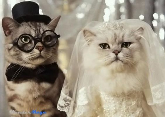 Images of cats dresses | ... cat wedding photography. Cat wedding dresses. Cat in wedding. #cat