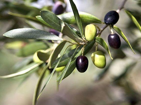 Aprovecha las aceitunas de tu olivo