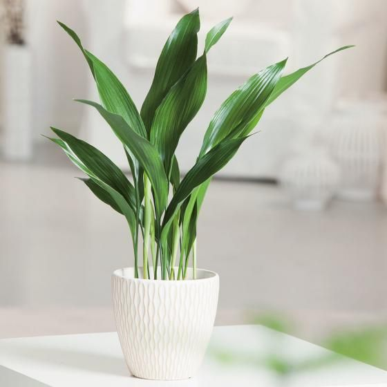 Schusterpalme Online Kaufen Bei Gartner Potschke Coole Zimmerpflanzen Indoor Pflanzen Dekor Zimmerpflanzen Ideen