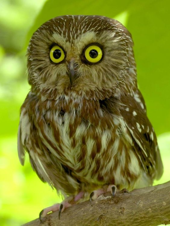Northern Saw Whet Owl http://animalspicwallpaper.com/wp-content/uploads/2014/01/saw-whet-476-owl.jpg