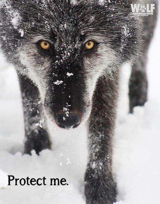 #standforwolves: