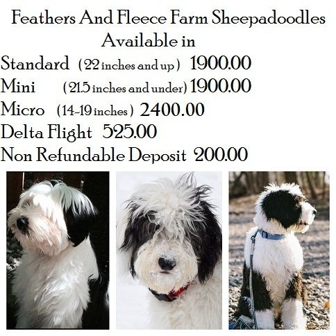 Feathers And Fleece Sheepadoodle Puppies Sheepadoodle Puppies